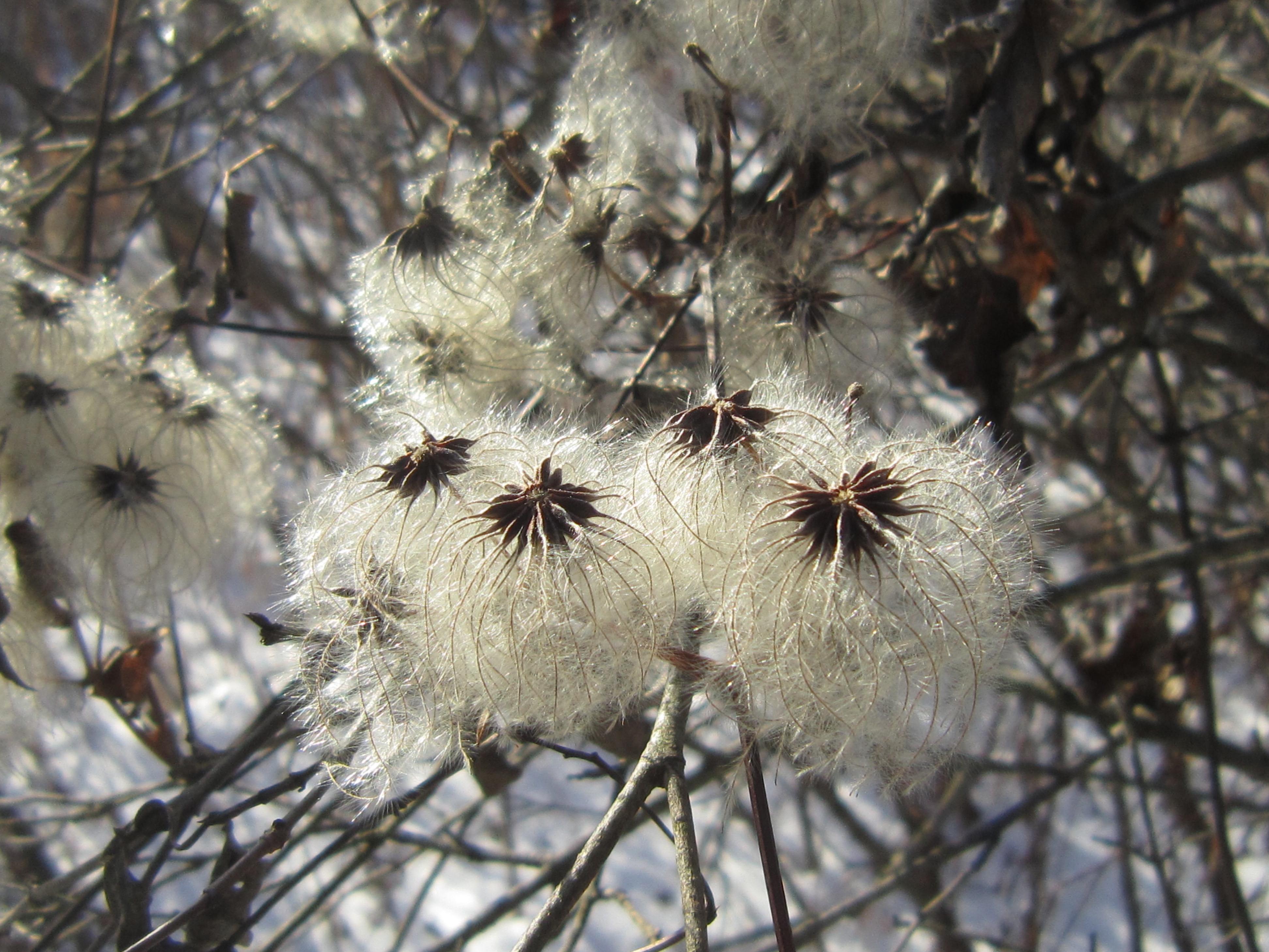 Seeds of Virgin's Bower