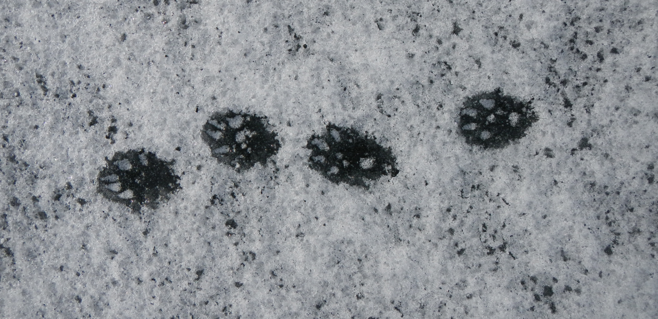 The mink had been out on the ice when the temperture was warm.  Beautiful frozen tracks.