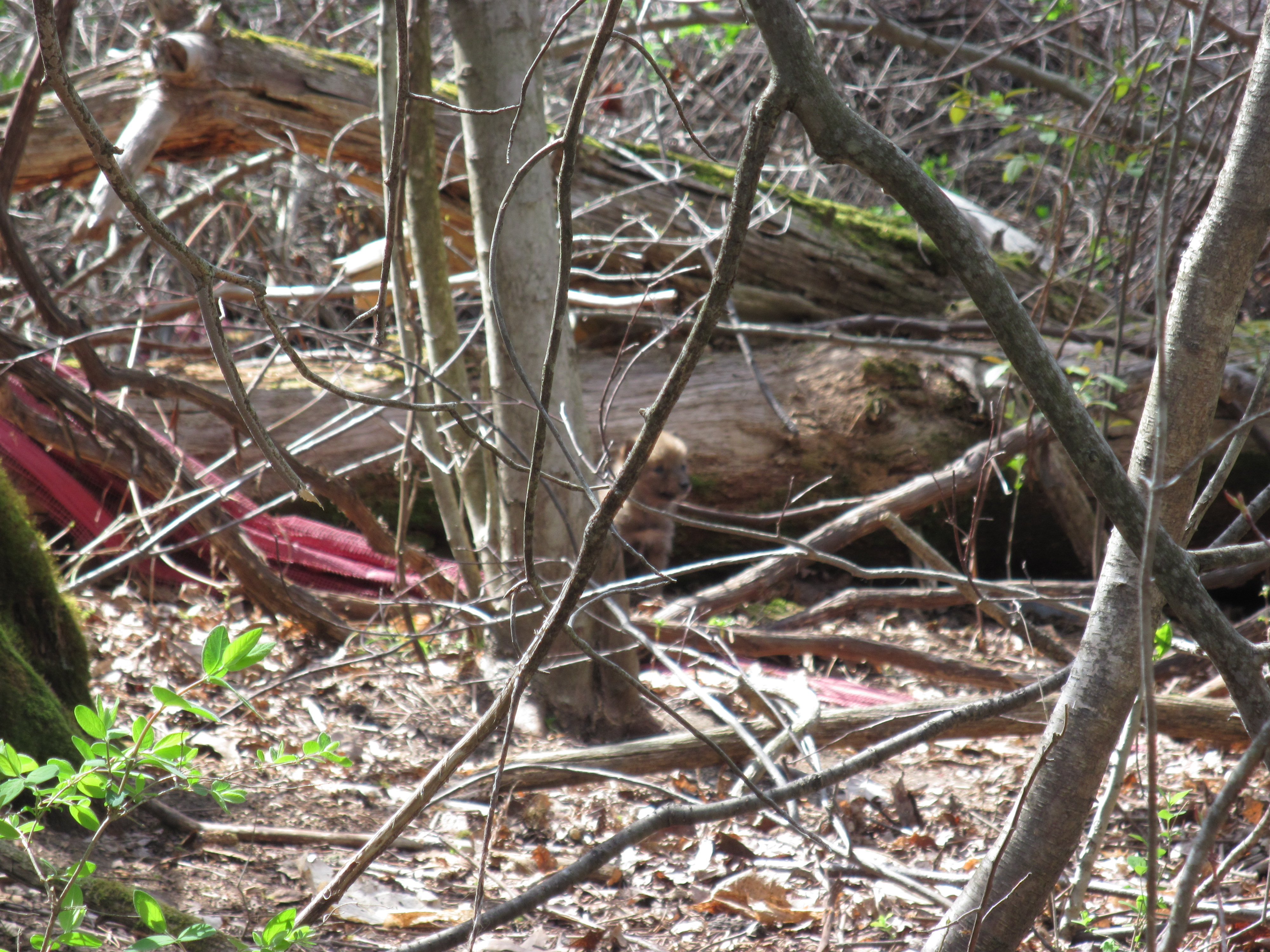 Coyote pups in the woods!
